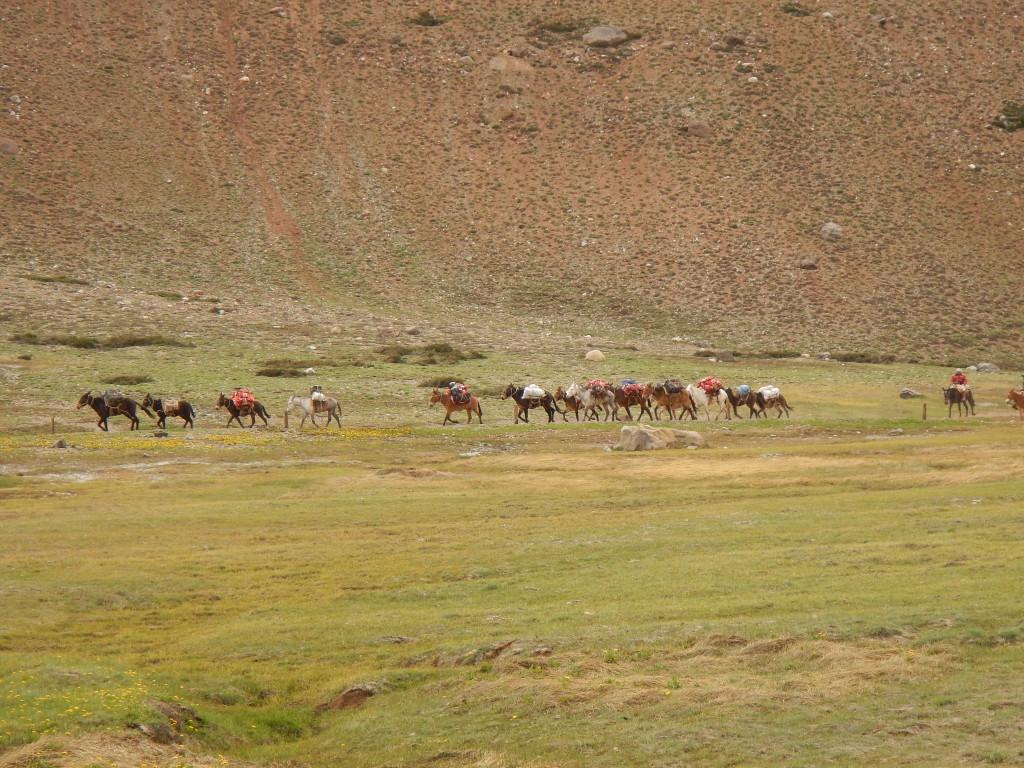 Mules descending Aconcaugua