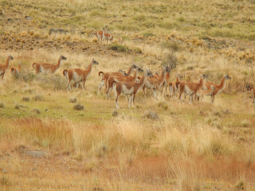 Guanaco are very common in Patagonia.