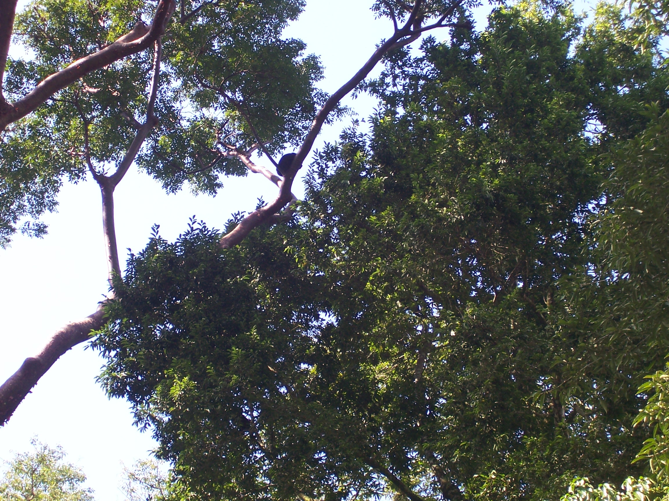 Howler Monkeys In The Trees At Pa;enque Ruins